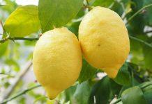 lemon tanpa biji
