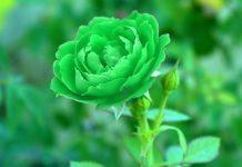 mawar hijau