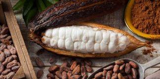 bibit kakao unggul