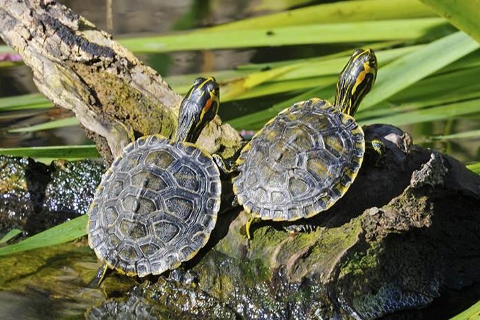 beternak kura-kura air tawar