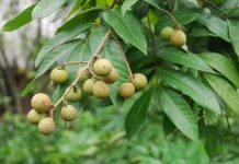perangsang buah