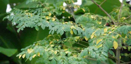 menyemai benih tanaman kelor