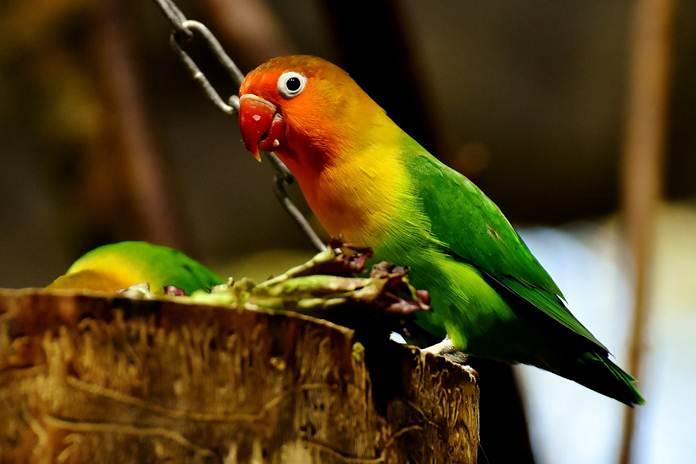 lovebird turun tangkringan