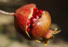 mengetahui buah matang