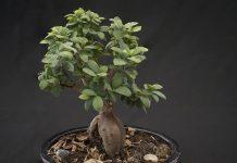 cara memperbesar batang tanaman bonsai