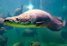 Ikan raksasa arapaima