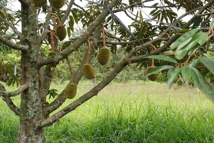 tanam durian