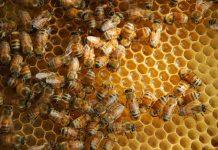kenapa lebah menghasilkan madu