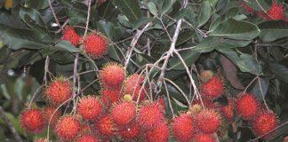 khasiat buah rambutan