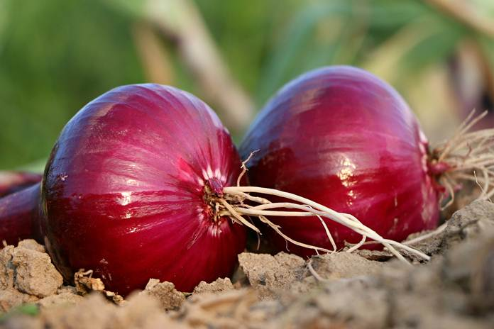 budidaya bawang merah di lahan kering