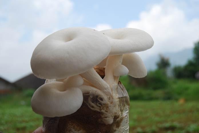 makan jamur