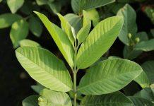 manfaat hebat daun jambu biji