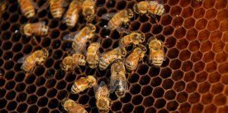 Beternak lebah madu