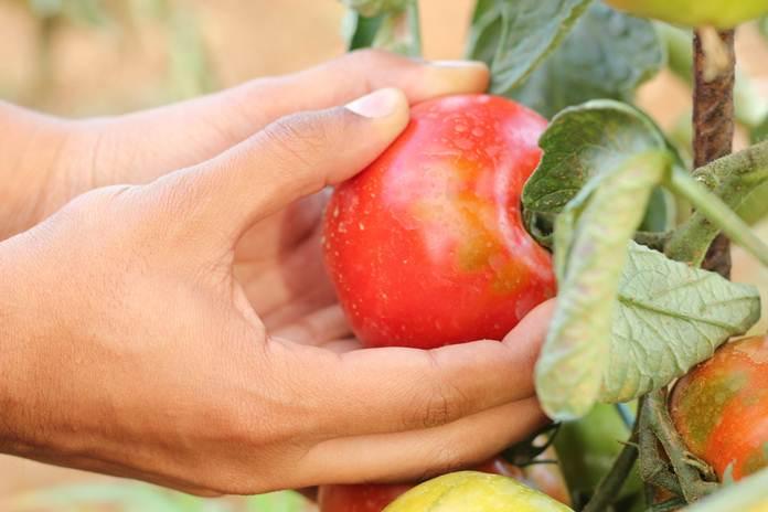 teknik bertanam sayuran organik