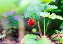 menanam stroberi di daerah panas