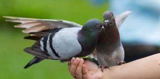 Jenis kelamin burung merpati