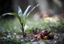 mengembangkan kelapa sawit