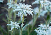 Bunga edelweis