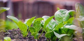 cara menanam bayam hijau organik