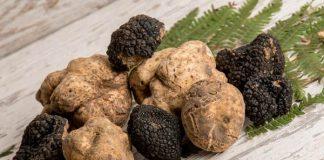 budidaya jamur truffle