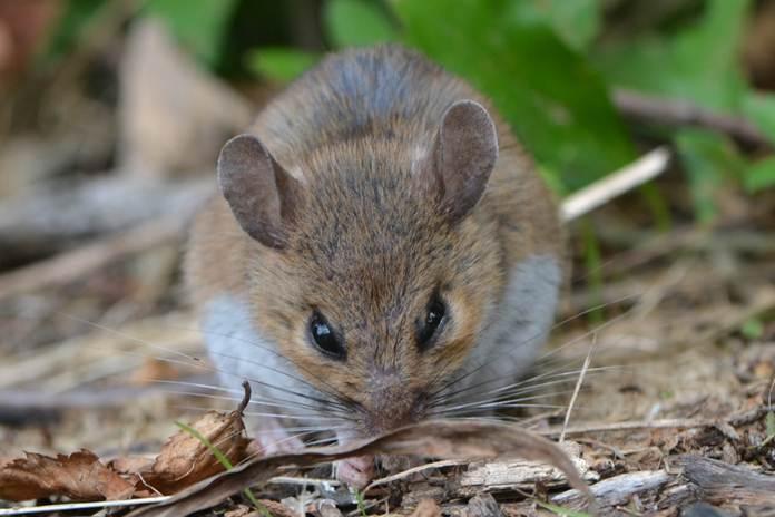 hama tikus sawah