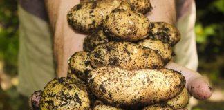 menanam kentang
