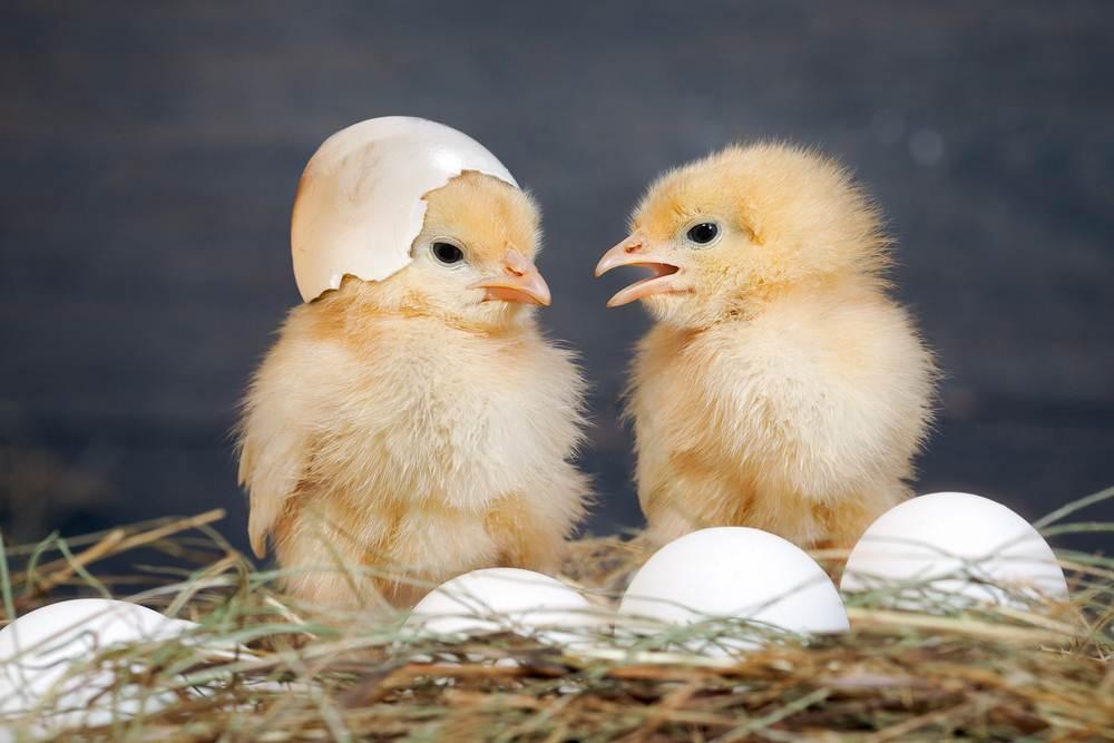 merawat anak ayam