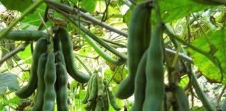 budidaya tanaman kacang koro