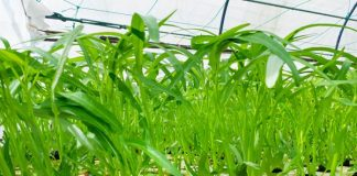 menanam kangkung secara hidroponik