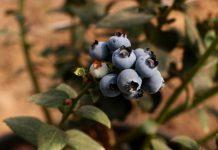 menanam blueberry dari biji