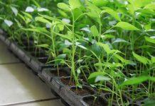 pembibitan tanaman