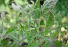 faktor penyebab tanaman terserang hama