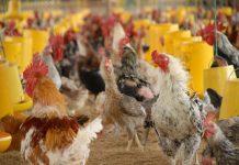probiotik untuk ternak ayam