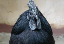 ayam asli Indonesia