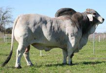 indukan sapi Brahman Cross
