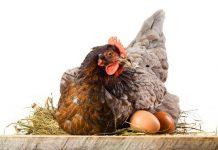 telur ayam tidak mau menetas