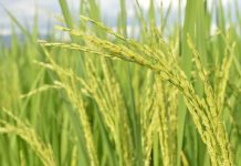 ketahanan pangan Indonesia