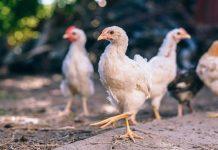 bahaya ayam broiler