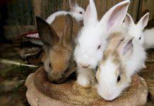 Ternak kelinci