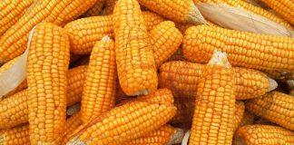 distribusi jagung