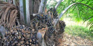 produksi pohon kelapa sawit