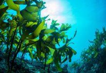 serat rumput laut