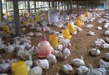 kandang ayam broiler