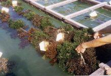 Budidaya rumput laut di air tawar