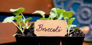 bertanam brokoli