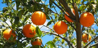 cara menanam jeruk madu