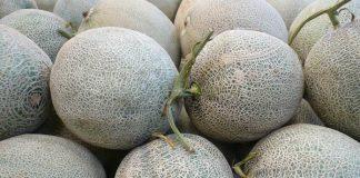 mengendalikan hama dan penyakit tanaman melon
