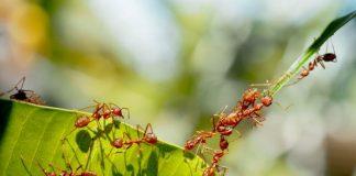 semut pada tanaman