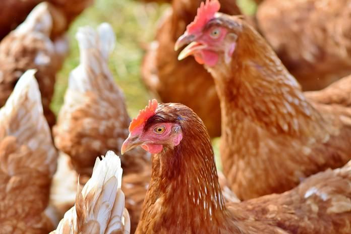 Vaksin Anti Flu Burung Ayam Petelur Telah Diluncurkan