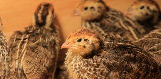 penyakit yang sering menyerang burung puyuh